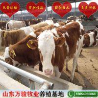 促销纯种西门塔尔牛牛犊 万骏养殖基地 热卖纯种西门塔尔牛母牛