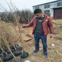 6公分石榴树苗 6公分石榴带土球价格