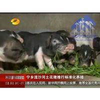 湖南卫视特别报道 湖南省宁乡花猪生态养殖文化园土花猪批发