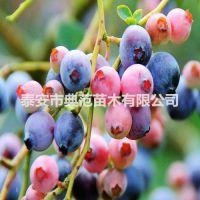 兔眼蓝莓苗 兔眼蓝莓苗价格 基地直供货源充足