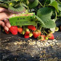 2018年红颜草莓苗价格 脱毒二代红颜草莓苗多少钱一棵 培育基地在哪