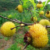 壹棵树农业供应梨树新品种 金刺梨苗 金刺梨树苗