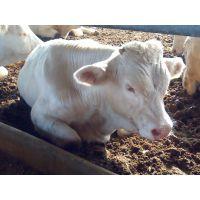 养殖夏洛莱牛肉牛的利润