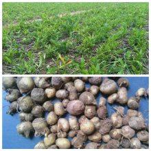 半夏种苗/旱半夏种植技术/旱半夏一亩地种植多少斤