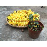 广西金花茶树苗价格 珍稀金花茶树苗盆栽盆景 名贵花卉