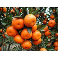 四川柑橘树苗出售,四川柑橘树苗种植技术,四川柑橘树苗