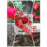 采摘园苹果优新品种 旅游观光采摘园种植什么果树