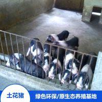 流沙河宁乡土花猪生态野生供应 宁乡猪苗精排瘦肉厂家销售