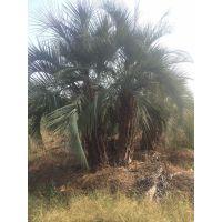 云南布迪椰子庭园观赏,云南布迪椰子大盆栽树
