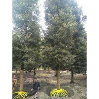 供应米径15公分全冠小叶桢楠,金丝楠木苗圃基地,小叶桢楠最新价格