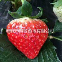 梦香草莓苗价格 梦香草莓苗 植株健壮根系发达