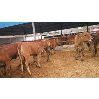 养殖鲁西黄牛肉牛的饮食