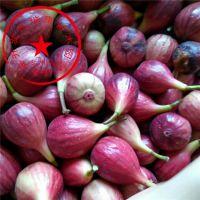 泰安开发区瑞康苗木供应波姬红无花果树苗种苗