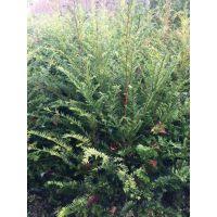 供应红豆杉树苗、株高80-1米