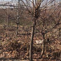 供应6公分柿子树批发价格 定杆的 甜柿子树苗品种