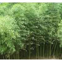 刚竹基地 1米2米3米4米5米高刚竹价格通报