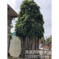 常绿大乔木造型小叶榕基地冠幅枝叶茂密批发