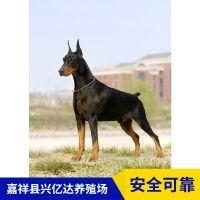 嘉祥县兴亿达纯种杜宾犬工作犬生态养殖园