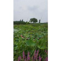 安新县境美水生植物种植有限公司