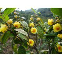 金花茶价格多少钱一斤 金花茶干花树苗种子果实盆栽盆景价格及图片欣赏