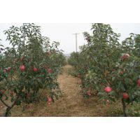 山东苹果树苗批发基地 1公分寒富苹果树苗 柱状苹果树苗批发价格