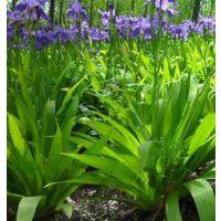江苏鸢尾花基地 出售优质低价鸢尾花种苗