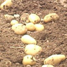 手扶配套刨红薯机 小型土豆收获机 农用马铃薯高效收获机