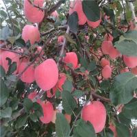 红珍珠苹果苗 优质果苗推荐
