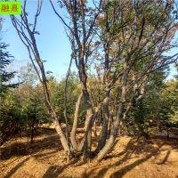 供应精品丛生五角枫树 冠幅大 4米6米五角枫价格