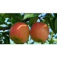 嫁接梨树 红梨梨树 红香酥梨树
