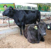 广西山水牛肉牛扶贫养殖-生鲜牛肉-冷鲜牛肉-牛副产品