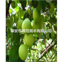 大青枣树苗多少钱一棵 山东枣树苗基地