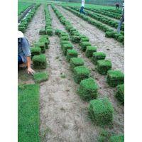 供应马尼拉草坪批发,草坪养护,种植,包成活