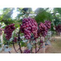 葡萄着色剂价格葡萄上色专用果蔬转色精华不含激素纯天然生理上色