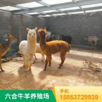 特种进口羊驼 可供节日庆典拍照 养殖场租赁