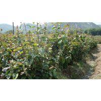 江西的红花大油茶树苗种植苗圃在哪里 油茶苗批发多少钱一株
