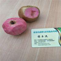 红富士苹果苗种植