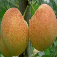 梨树苗基地 脆甜多汁梨树苗品种 红梨梨树苗基地