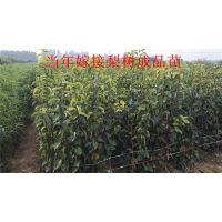 梨树苗 西洋梨树苗 果树盆栽 当年结果苗 适应性广