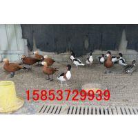 观赏七彩山鸡 可食用山鸡 华旺特种养殖场批发