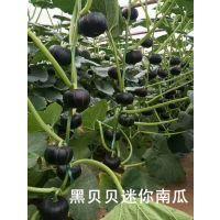 黑贝贝南瓜种子