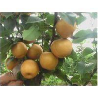 中梨三号梨苗多少钱一棵 中梨三号梨苗品种特性