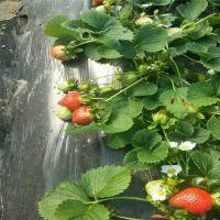 泰安豪宇园艺场草莓苗基地 佐贺清香 法兰地 脱毒红颜草莓苗