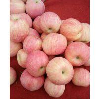 哪里红富士苹果上市了 山东早熟红富士苹果今日价格