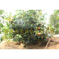 大果红花油茶图片专辑 大红花油茶树结果图开花图 红花油茶果实图片欣赏