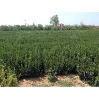贵州哪里卖冬青树苗 毕节冬青树苗批发市场