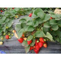 出售优质的草莓苗 南北方种植 品种齐全 价格实惠 苗高10-20cm 优质草莓苗 欢迎来购!!!