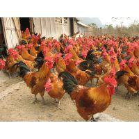 秀山优质青脚红羽乌皮土鸡苗市场行情,鸡苗厂家直销,运输包存活