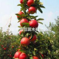 柱状苹果苗价格 基地直供润太一号柱状苹果树苗