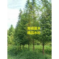 水杉价格 20公分水杉价格